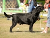 2013-08-04-lithuanian-retriever-club-show-w13img_5052