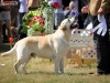 2013-08-04-lithuanian-retriever-club-show-w13img_5155