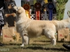 2013-08-04-lithuanian-retriever-club-show-w13img_5548
